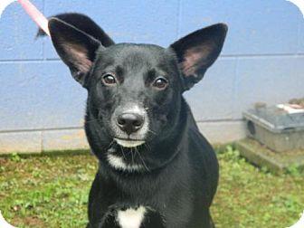 Labrador Retriever Mix Dog for adoption in Randleman, North Carolina - Elsa