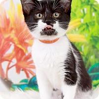 Adopt A Pet :: Darla - Sterling Heights, MI