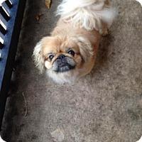 Pekingese Mix Dog for adoption in Northfield, Minnesota - Jesse