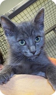 Domestic Shorthair Kitten for adoption in Grants Pass, Oregon - Nancy