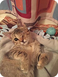 Domestic Shorthair Kitten for adoption in Brownsburg, Indiana - Pippa