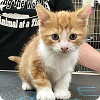 Adopt A Pet :: Skye - North Wilkesboro, NC
