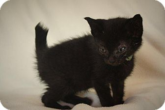Domestic Shorthair Kitten for adoption in Angola, Indiana - Scrabbler