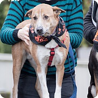 Shepherd (Unknown Type) Mix Dog for adoption in Seattle, Washington - Lincoln