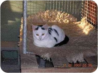 Domestic Shorthair Cat for adoption in Union, South Carolina - Dice