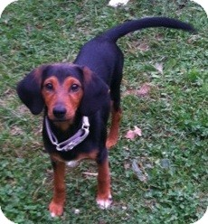 Dachshund/Beagle Mix Puppy for adoption in North Olmsted, Ohio - Beau