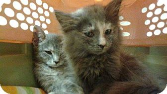 Domestic Mediumhair Cat for adoption in Maywood, Illinois - Julie and Harriet