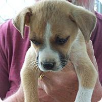 Adopt A Pet :: Boxer - Hohenwald, TN