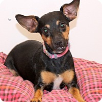 Adopt A Pet :: Olivia~meet me~ - Glastonbury, CT