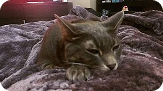 Domestic Shorthair Cat for adoption in Chandler, Arizona - Norman
