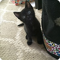 Domestic Shorthair Kitten for adoption in Miami, Florida - Charlie
