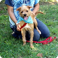 Norfolk Terrier/Terrier (Unknown Type, Medium) Mix Dog for adoption in Arlington, Texas - Moe