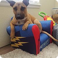 Adopt A Pet :: Toby (DENVER) - Fort Collins, CO