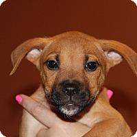Adopt A Pet :: Northstar - Phoenix, AZ