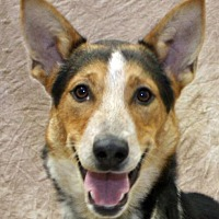 Australian Cattle Dog/Border Collie Mix Dog for adoption in Modesto, California - Johnnie