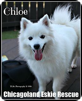 American Eskimo Dog Dog for adoption in Elmhurst, Illinois - Chloe