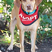 Adopt A Pet :: Roxy - Van Nuys, CA