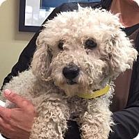 Adopt A Pet :: Baylor - Adorable Poodle Boy - Seattle, WA