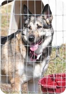 German Shepherd Dog/Husky Mix Dog for adoption in Hamilton, Montana - Solo