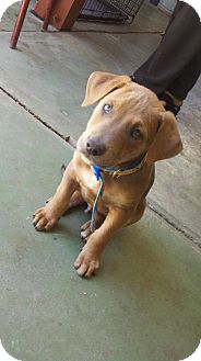 Doberman Pinscher/Boxer Mix Puppy for adoption in Bakersfield, California - Archie