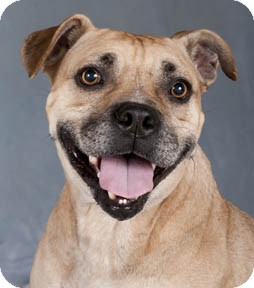 Pebbles | Adopted Dog | Chicago, IL | Pit Bull Terrier/Pug Mix