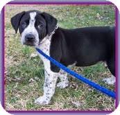 Labrador Retriever/Hound (Unknown Type) Mix Puppy for adoption in Brattleboro, Vermont - Pepper (In New England)