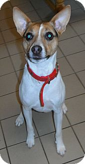 Jack Russell Terrier Mix Dog for adoption in Jackson, Michigan - Jack