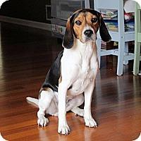 Adopt A Pet :: Knox - Novi, MI
