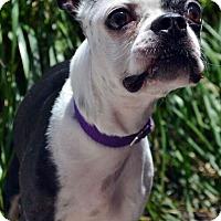 Adopt A Pet :: Doodles-Adoption pending - Bridgeton, MO