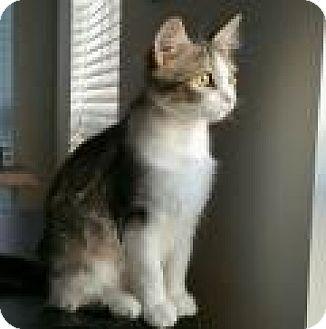 Domestic Shorthair Cat for adoption in Chicago, Illinois - Ashland