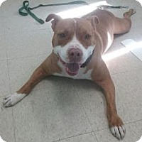 Adopt A Pet :: Ranger - Bradenton, FL