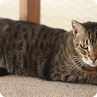 Domestic Shorthair Cat for adoption in Metairie, Louisiana - Tyson