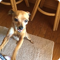 Chihuahua Dog for adoption in Corona, California - Peanut Butter, 5 lb miracle
