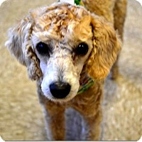 Adopt A Pet :: ZuZu - Tavares, FL