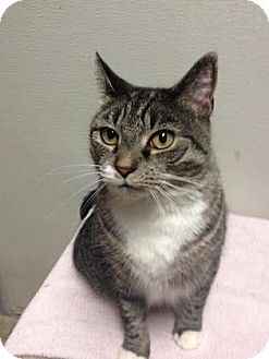 Domestic Shorthair Cat for adoption in Milford, Massachusetts - Tricia