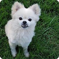 Adopt A Pet :: Sammy - Sunnyvale, CA