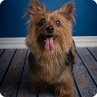 Silky Terrier Mix Dog for adoption in Cranford, New Jersey - Ziggy