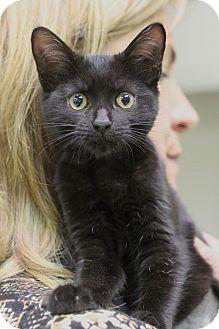 Domestic Mediumhair Kitten for adoption in Mount Laurel, New Jersey - Spooky