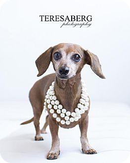 Dachshund Dog for adoption in McKinney, Texas - Pricilla