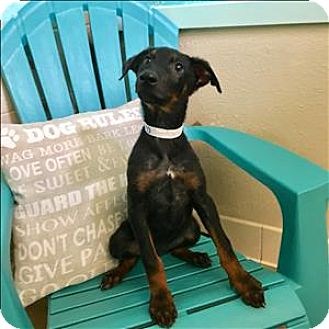 Doberman Pinscher/German Shepherd Dog Mix Puppy for adoption in Riverside, California - Winifred
