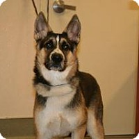 Shepherd (Unknown Type)/Akita Mix Puppy for adoption in Wildomar, California - Noah