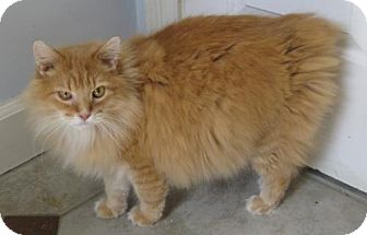 Cymric Cat for adoption in Mobile, Alabama - Leo Too