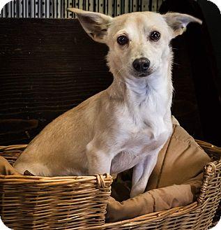 Chihuahua/Dachshund Mix Dog for adoption in Yelm, Washington - Denver