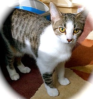 Domestic Shorthair Kitten for adoption in Franklin, Indiana - Katydid