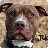 Adopt A Pet :: Tug - Bloomington, IL