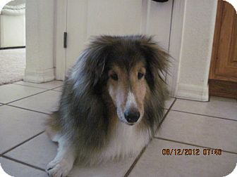 Sheltie, Shetland Sheepdog Dog for adoption in apache junction, Arizona - Max