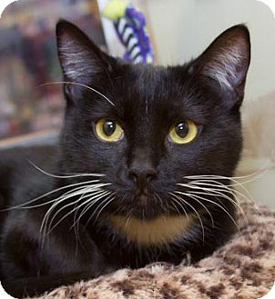 Domestic Shorthair Cat for adoption in Irvine, California - Evita