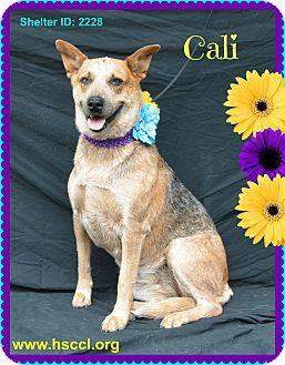 Blue Heeler Mix Dog for adoption in Plano, Texas - Cali