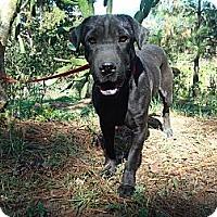 Adopt A Pet :: Samira - Redmond, WA