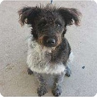 Adopt A Pet :: Shaggy - Arlington, TX